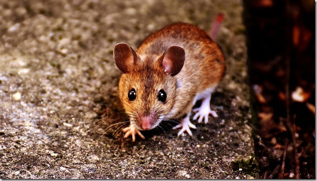 mouse-2308339_1280